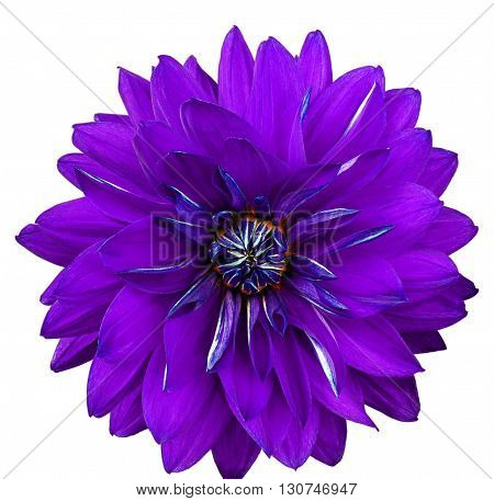 Dahlia flower white background isolated. Macro. Closeup. Lilac blue.