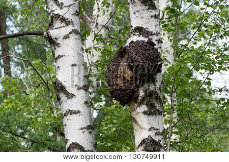Birch Trunk With Excrescence