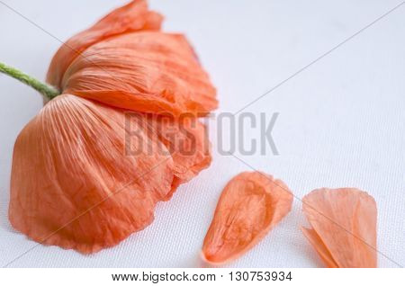 Beautiful single coral poppy flower head and petals. Bright poppy flower. Close up of delicate flower for your design.