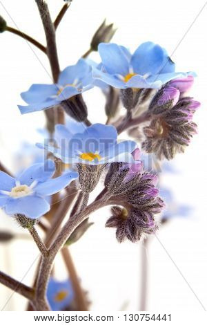 Blue Forget-me-not small flowers closeup isolated on white background
