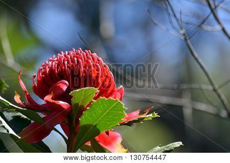 Red flower head of an Australian Waratah under blue sky