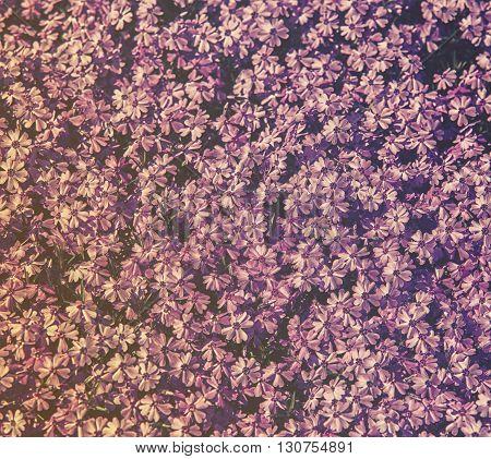 Close Up On Flower Phlox Subulata (polemoniaceae), Background Or Texture, Hdr Effect