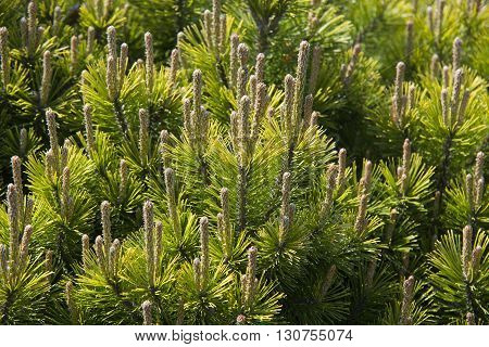 Branches Of A Dwarf Mountain Pine (pinus Mugo)