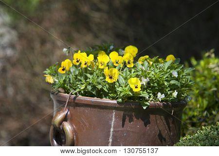 Violas growing in spring garden decoration in garden