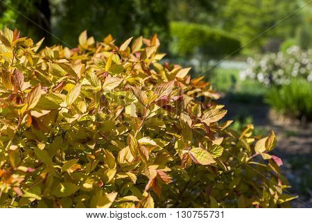 Close Up On Spiraea Japonica Goldflame Sunrise Or Sunset