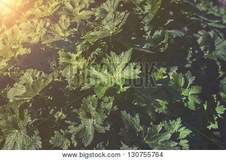 Close Up On Geraniums Leaf Sunset Or Sunrise