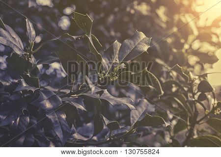 Close Up On Ilex Aquifolium Sunset Or Sunrise