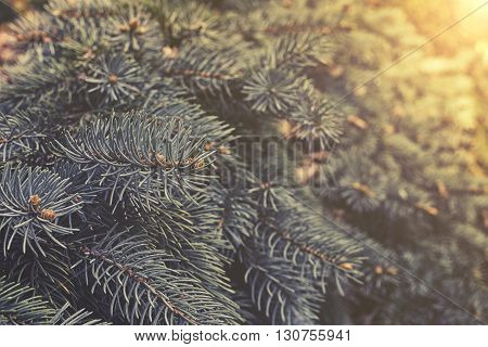 Hanging Branches Of Picea Punges Sunset Or Sunrise