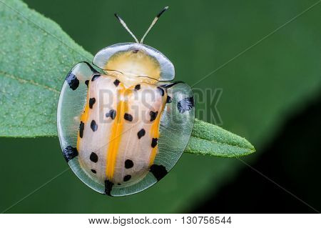 Macro photography showing a transparent lady bird