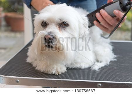 Grooming the head of white Maltese dog by electric razor. The dog is lying on the grooming table and looking at the camera.