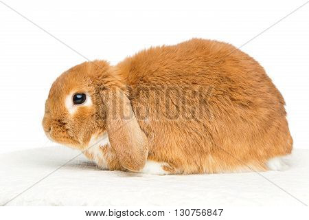 Adorable red domestic lop-eared rabbit isolated over white background. Copy space.