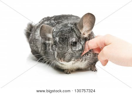 Cute adult chinchilla with human hand caresing it isolated over white background. Copy space.