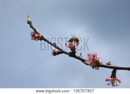 Honey bee on a peach flower branch.