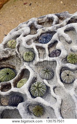 Collection of colourful sea urchins on a brain-like weathered sandstone rock at the beach