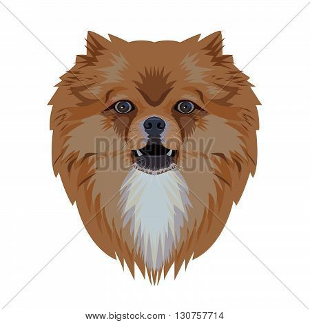 Portrait of pomeranian dog isolated on white backgroundvector illustration