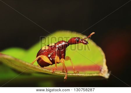 Macro photography showing a Red Giraffe Weevil or Leaf Rolling Weevil