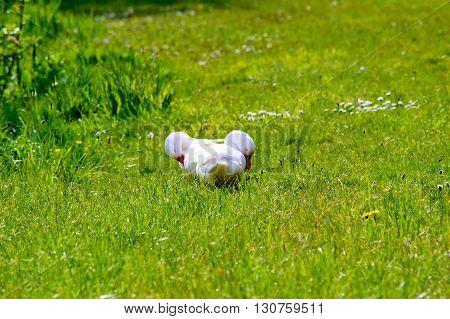 Couple of cute american peking ducks grooming in the sun on the fresh green grass