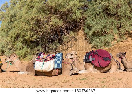 Camels are loaded in Sahara desert, Morocco