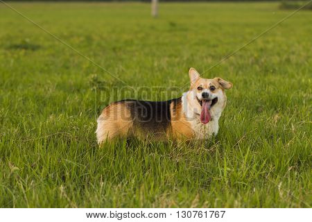 Dog Breed Welsh Corgi On A Walk