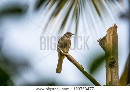 The Bulbul was perched on a branch.