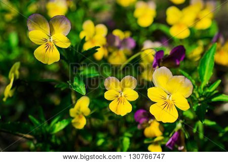 viola and yellow tricolor pansy, flower bed bloom in the garden in spring