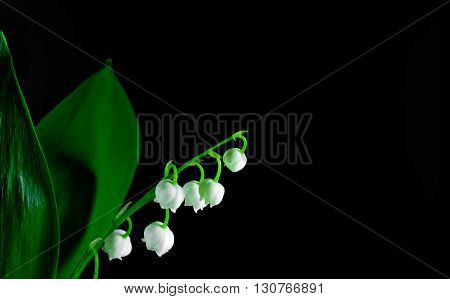 Twigs of Lilly of the valley isolated on black background. macro