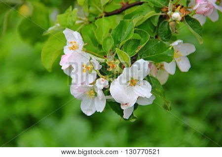flowering branch of Apple tree, many white flowers with yellow center on green background