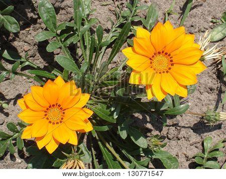 Two orange with brown stripes gazania flowers.