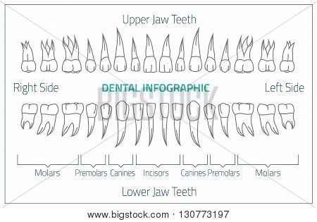 Adult international tooth chart. Vector illustration. Editable image in neon colors on white background. Human teeth infographic. Health dental care design. Poster or leaflet template