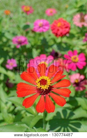 red and pink zinnia flowers in the garden