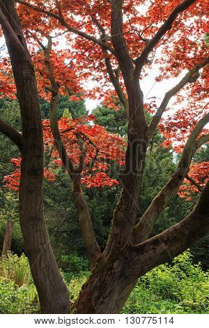 Vibrant red leaves on a maple tree in England.