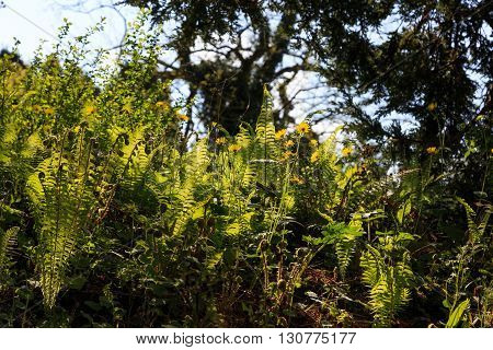 Yellow wildflowers and ferns in a British woodland.