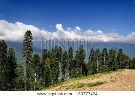 Coniferous trees growing on a hillside. Sunny day.