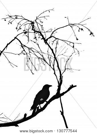 Monochrome silhouette of the Australian Currawong perched on a branch