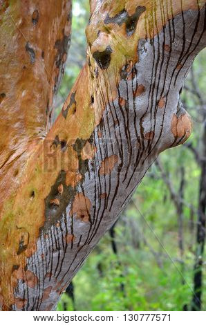 Rain running down a gumtree trunk making striped patterns on the colourful bark