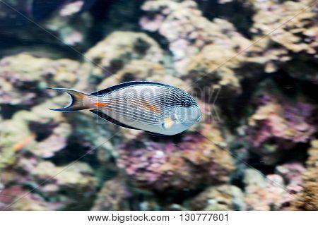 Lined Surgeonfish (acanthurus Lineatus)