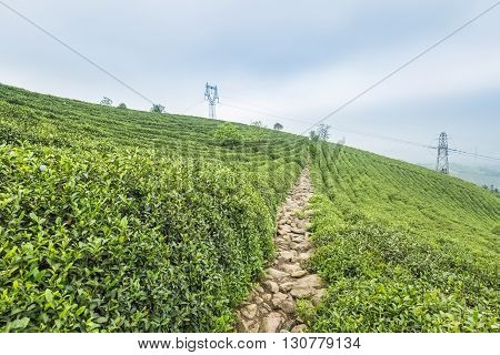 green tea plantation on the hillside in spring