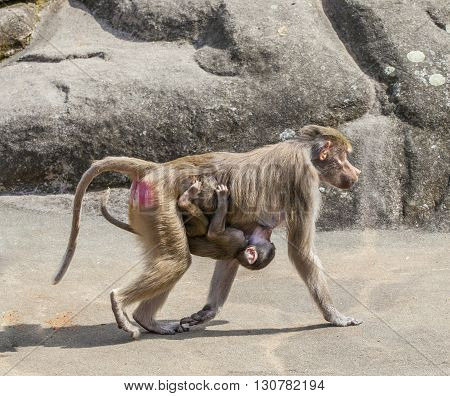 Baboon Carrying His Child