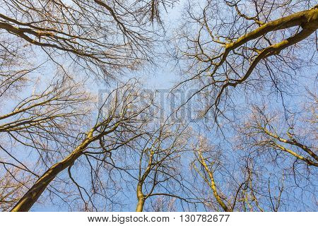 Spring In A Pine Forest. View Of The Tops Of The Pine Trees In The Sunlight