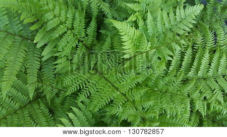 a clump of lush green fern fronds