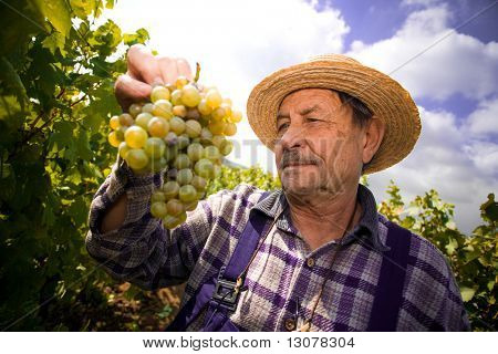 Vintner in french straw examining the grapes during the vintage.