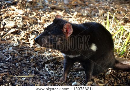 Australian carnivorous marsupial Tasmanian Devil in profile