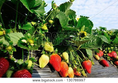 strawberry fruits and flowers in growth at field