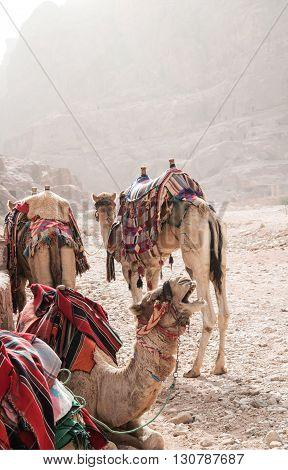 Camels in a sand storm in Jordan
