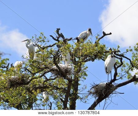 Wood storks and Great White Herons in the wild