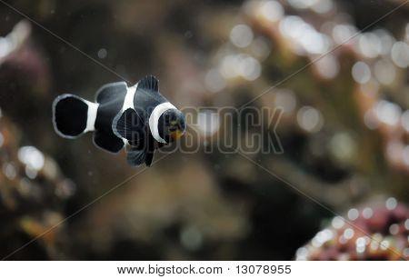 Black Clowfish