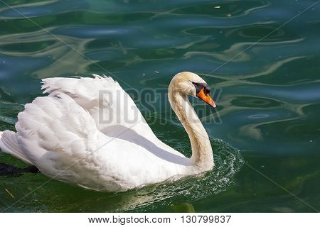White swan on the waters of Reuss river in the city of Lucerne Switzerland.