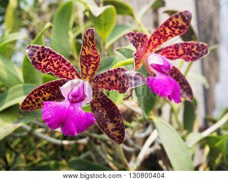 Thai beautiful violet orchid flower in garden