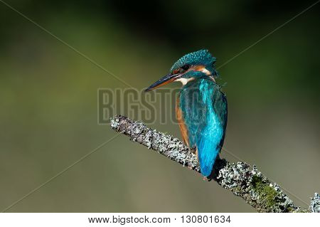 Kingfisher (Alcedo Atthis) perched on moss covered branch