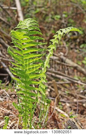 Ostrich fern or black saran (Matteuccia struthiopteris) - perennial fern species of the genus of the family Strausnik Onokleevye (Onocleaceae). Wild plants in Siberia